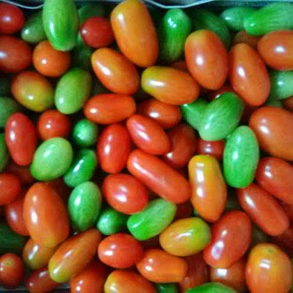 収穫トマト
