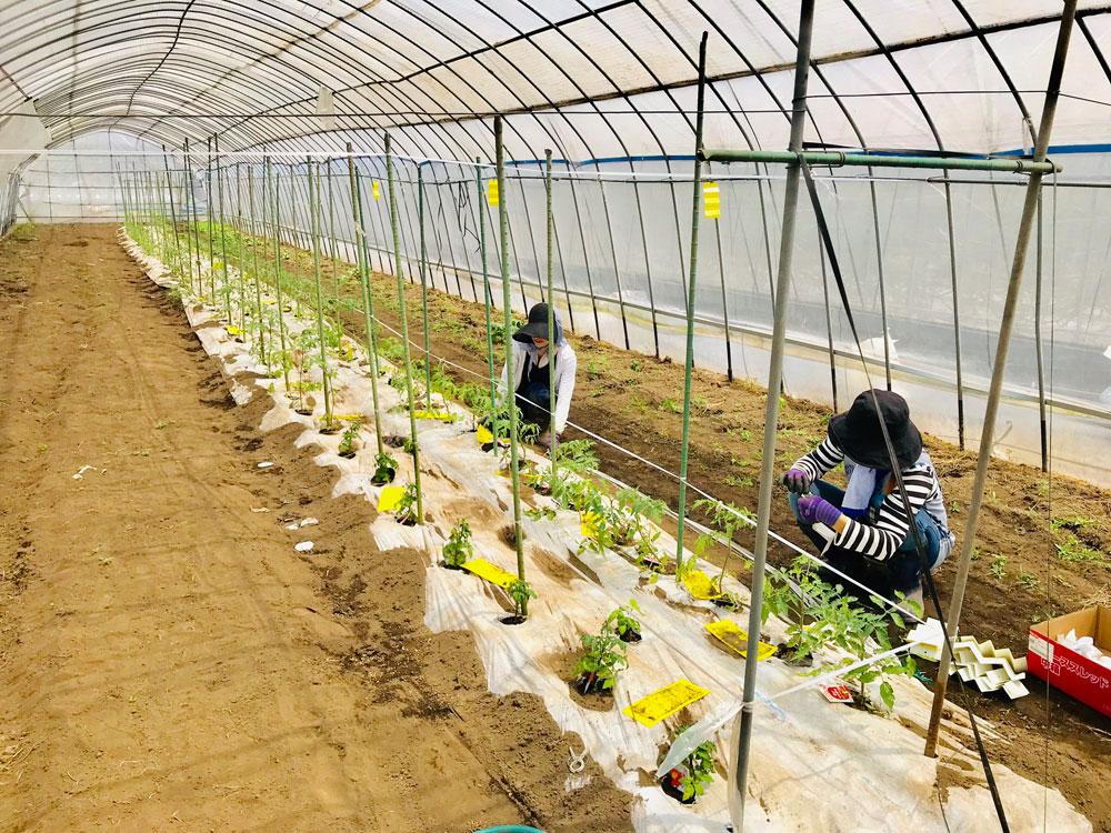 ミニトマト圃場